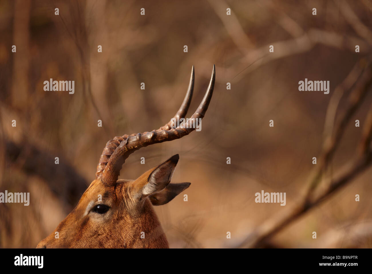 the horns of a bull impala, Kruger National Park, South Africa - Stock Image