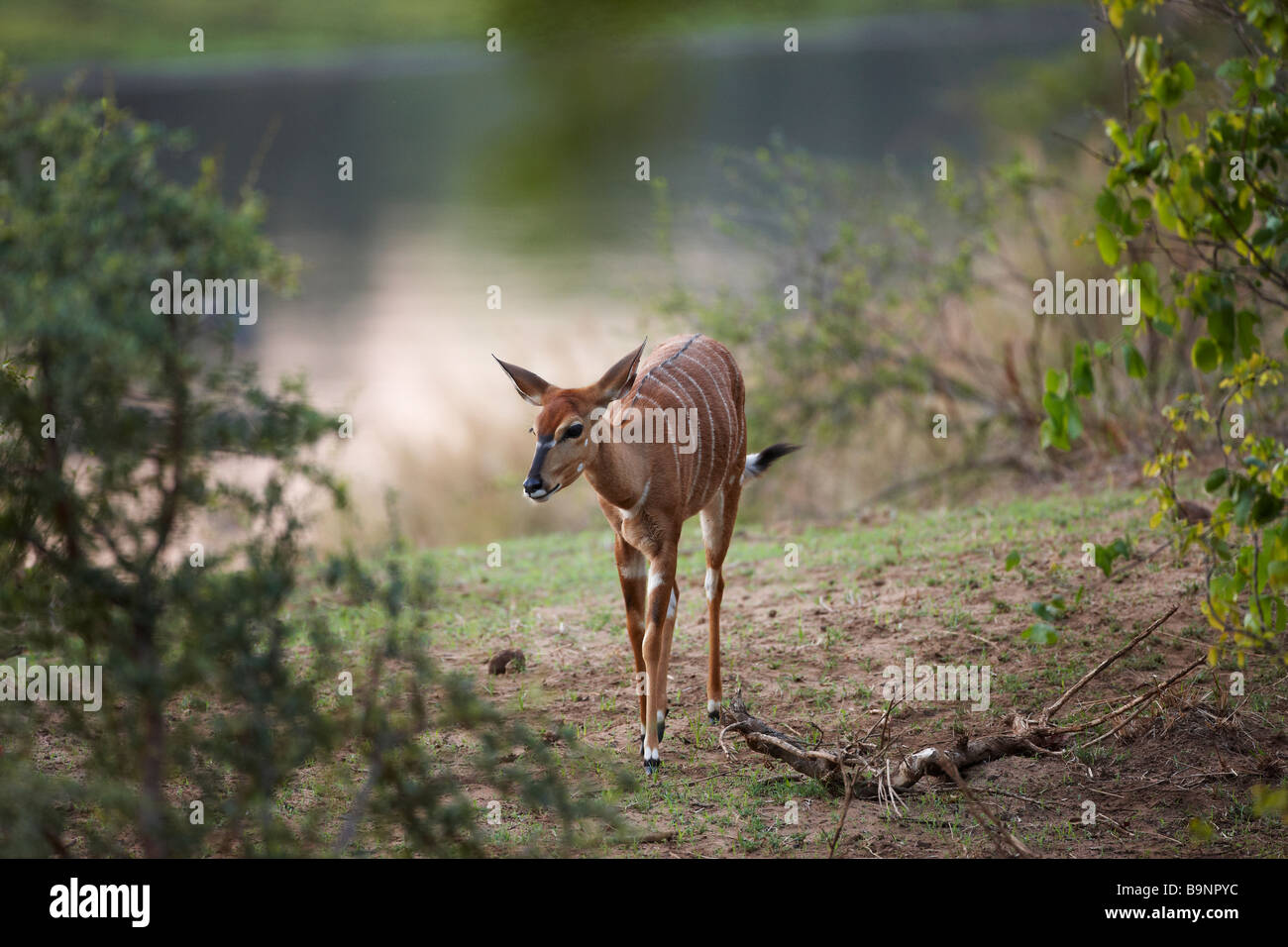 nyala ewe in the bush by a river, Kruger national Park, South Africa - Stock Image