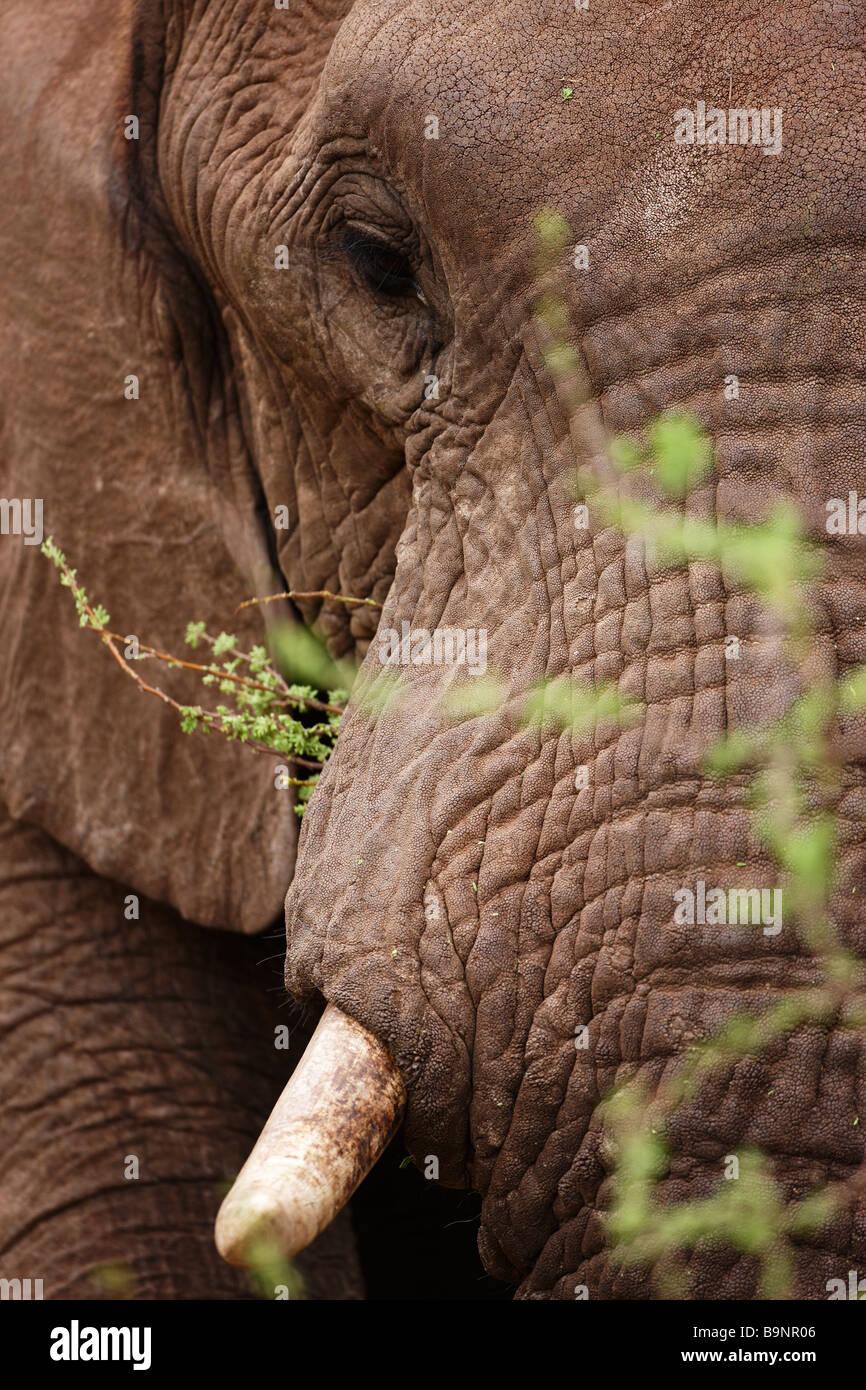detail of elephant portrait, Kruger National Park, South Africa - Stock Image