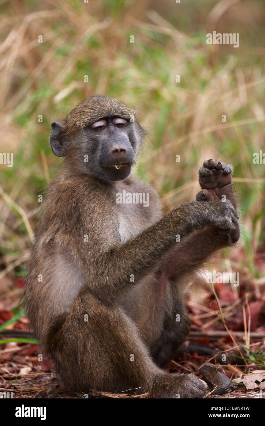 Chacma baboon in the bush, Kruger National Park, South Africa - Stock Image