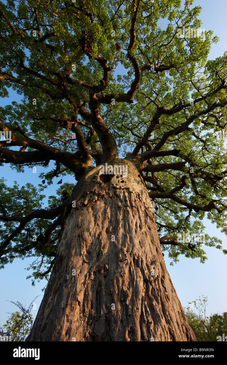boabab tree, Kruger National Park, South Africa - Stock Image