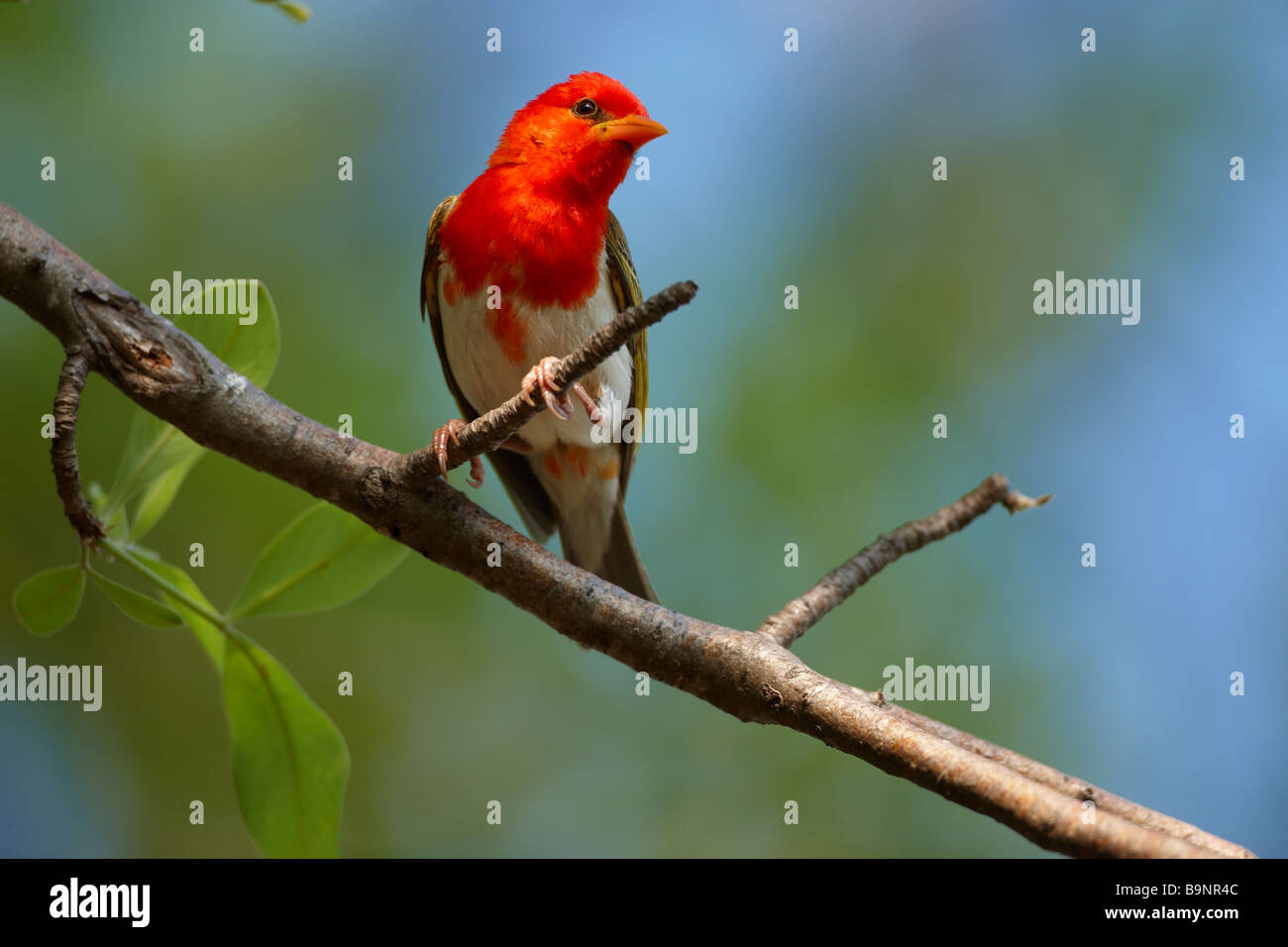 red headed weaver bird on a branch, Kruger National Park, South Africa - Stock Image
