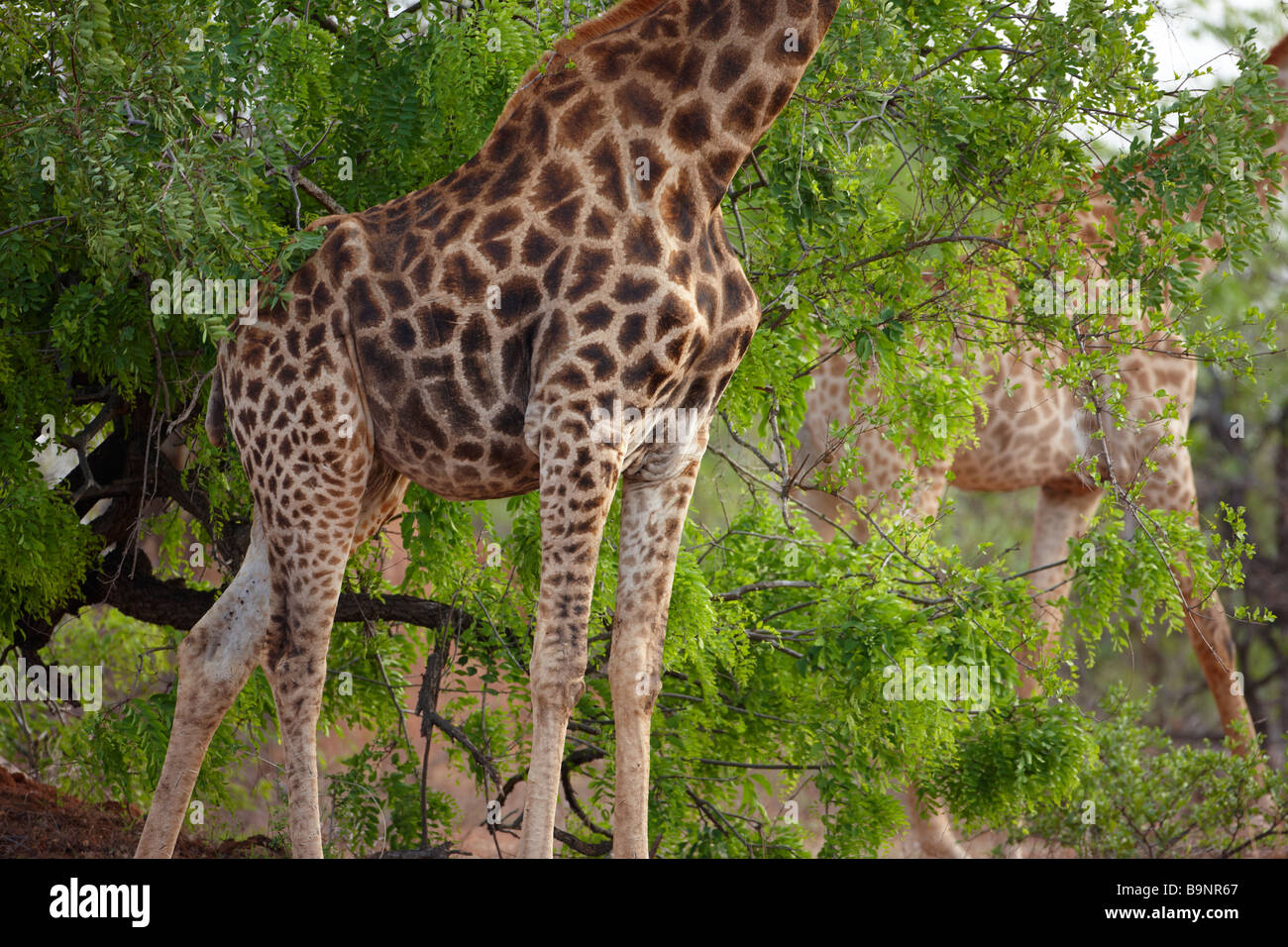two giraffes in the bush, Kruger National Park, South Africa - Stock Image