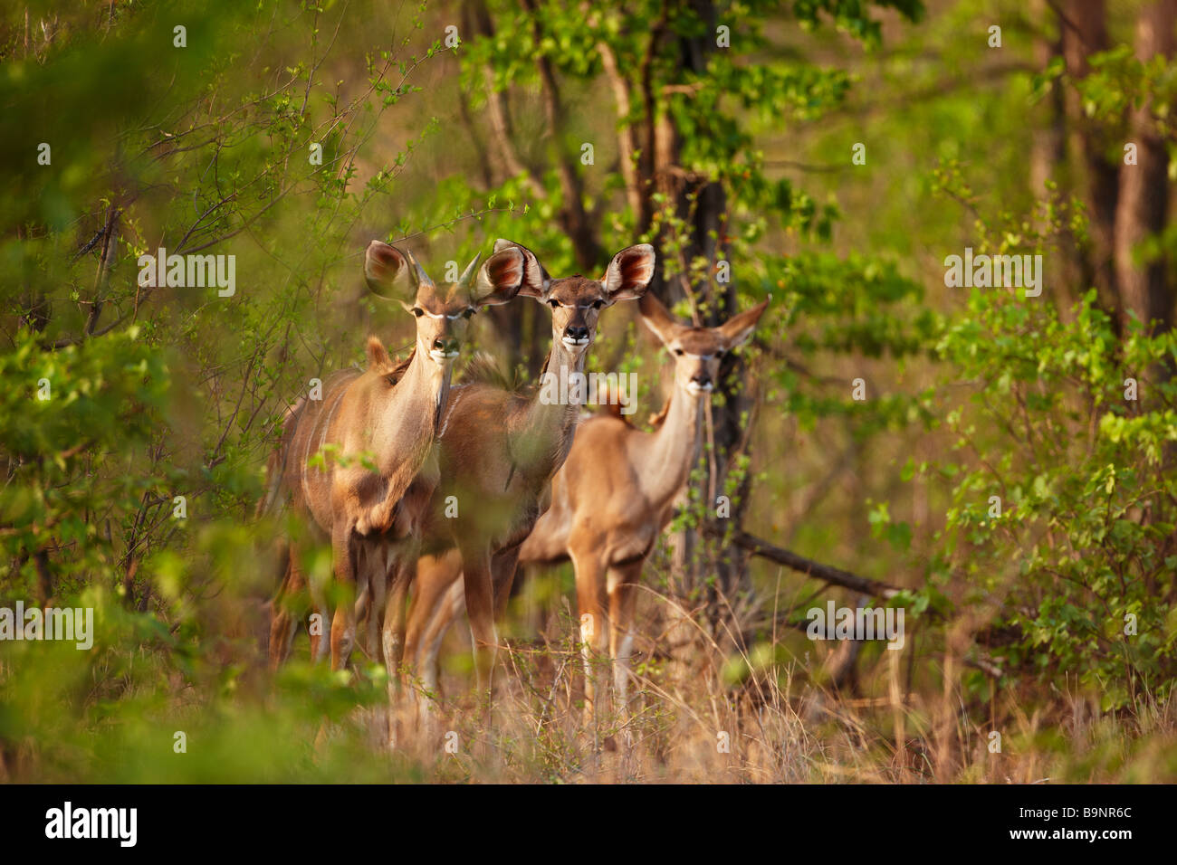 three Kudu ewes in the bush, Kruger National Park, South Africa - Stock Image