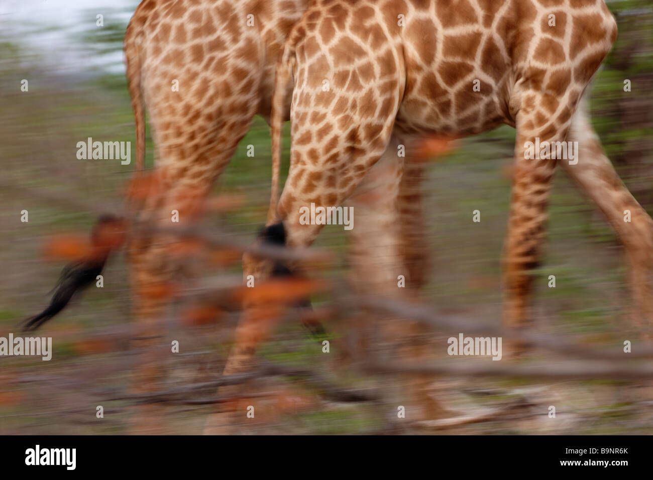 giraffes on the move, Kruger National Park, South Africa - Stock Image