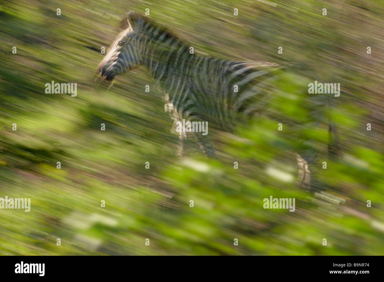 solitary Burchells zebra on the move, Kruger National Park, South Africa - Stock Image