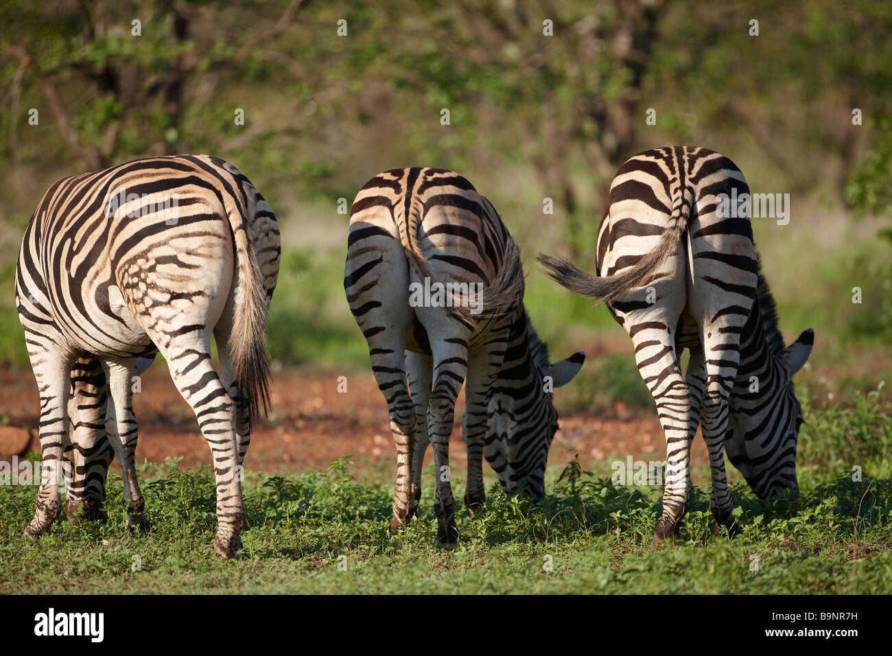 rear view of three Burchells zebra feeding in the bush, Kruger National Park, South Africa Stock Photo