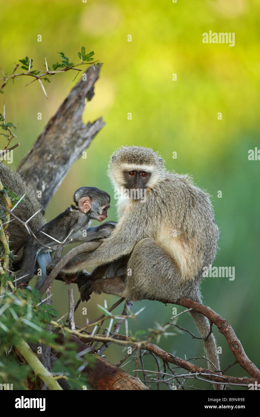 Vervet monkey with baby in the bush, Kruger National Park, South Africa - Stock Image