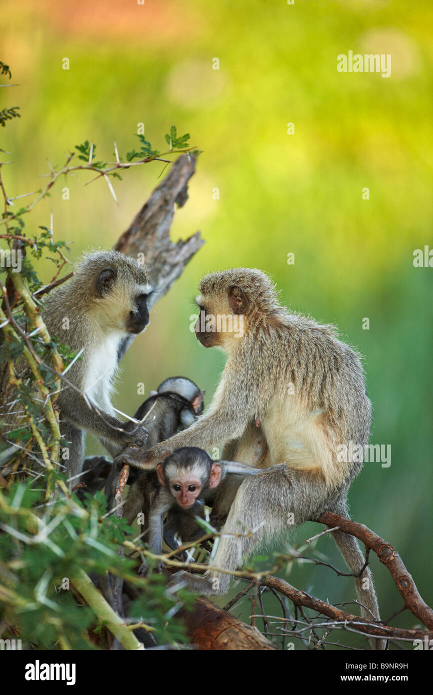 two adult female Vervet monkeys with babies in the bush, Kruger National Park, South Africa - Stock Image