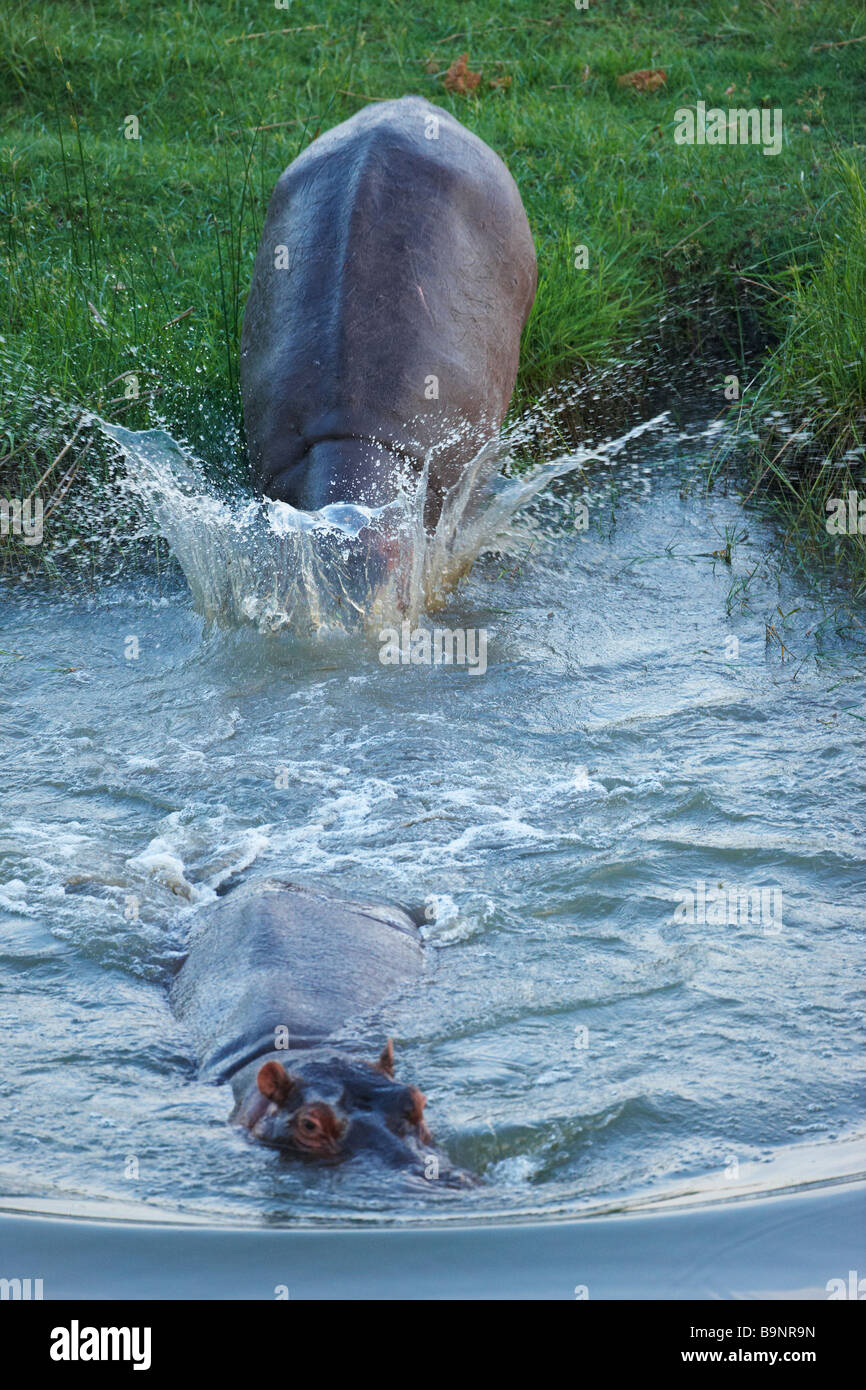 two hippopotamus returning to a river, Kruger National Park, South Africa - Stock Image