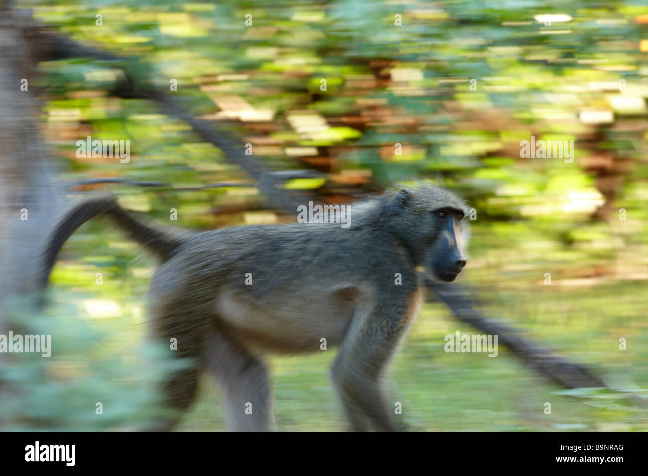 Chacma baboon on the move in the bush, Kruger National Park, South Africa - Stock Image
