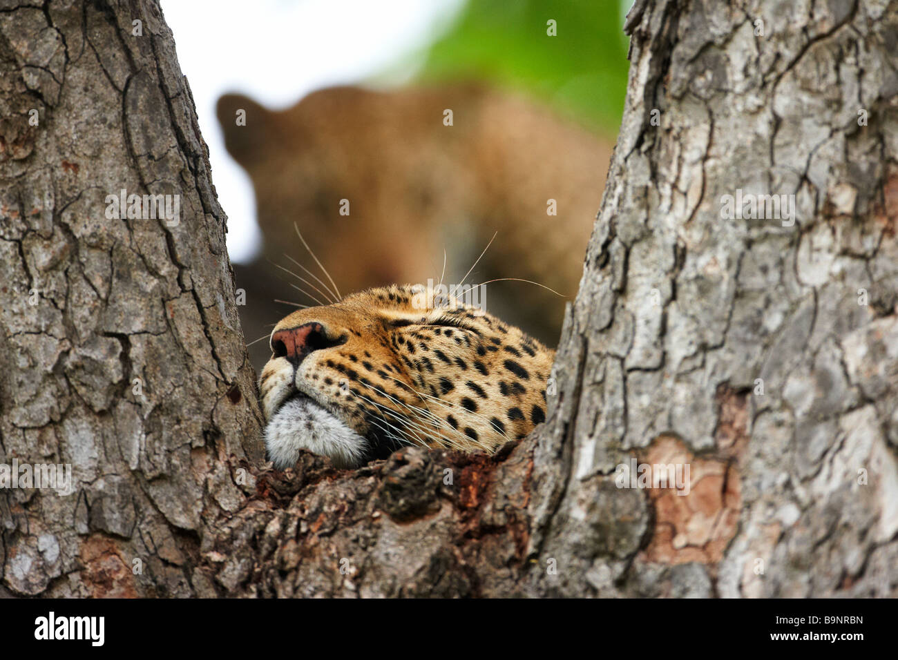 leopards resting in a tree, Kruger National Park, South Africa - Stock Image