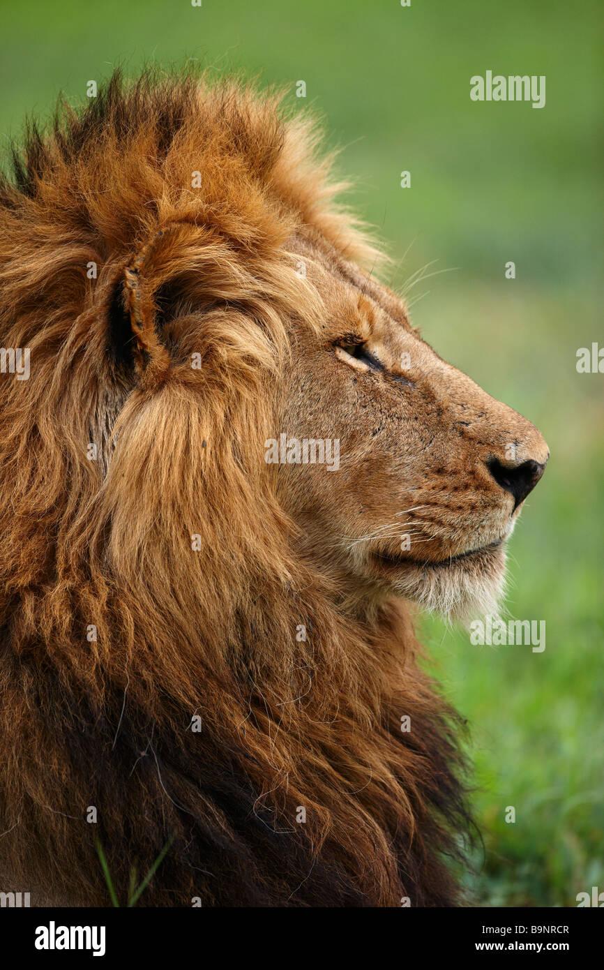 portrait of lion in the bush, Kruger National Park, South Africa - Stock Image