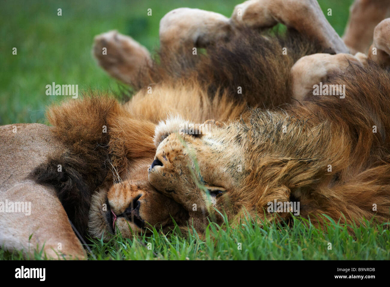 two male lions bonding in the bush, Kruger National Park, South Africa - Stock Image