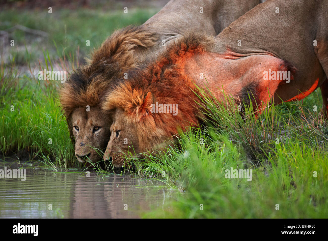 two lions drinking from a waterhole at dusk in the bush, Kruger National Park, South Africa - Stock Image