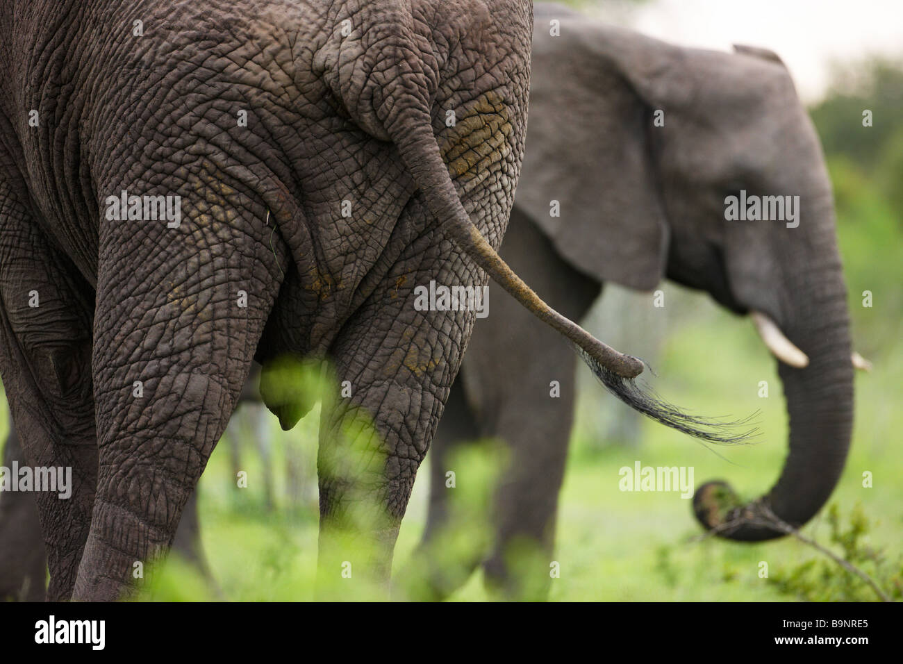 frontal and rear aspect of two African elephants in the bush, Kruger National Park, South Africa - Stock Image