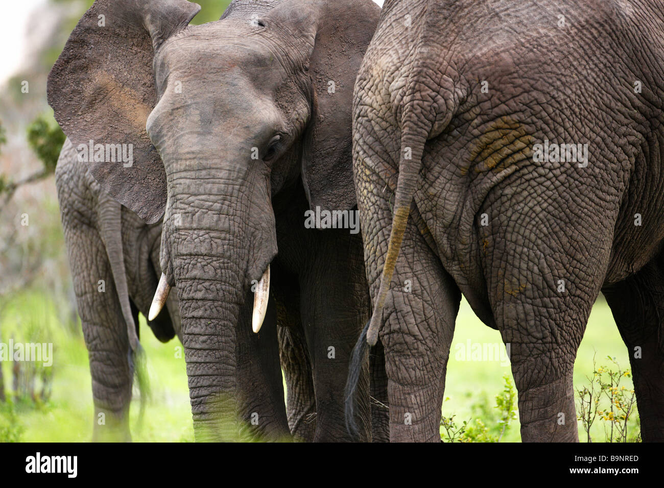 frontal and rear view of African elephants in the bush, Kruger National Park, South Africa - Stock Image