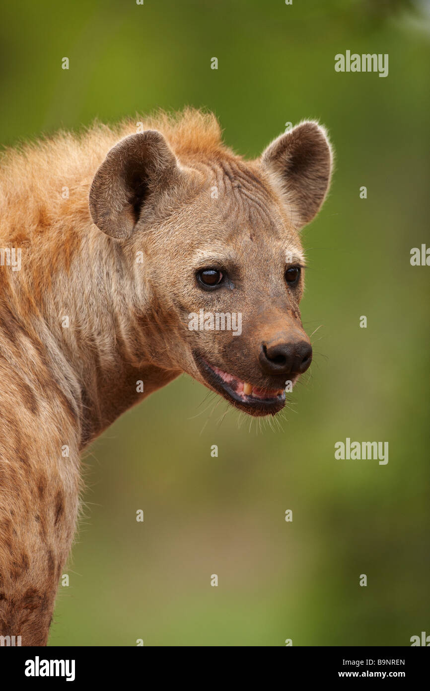 portrait of a spotted hyaena in the bush, Kruger National Park, South Africa - Stock Image