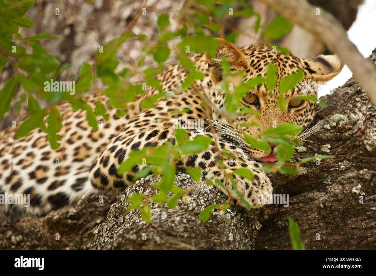 leopard resting in a tree, Kruger National Park, South Africa - Stock Image