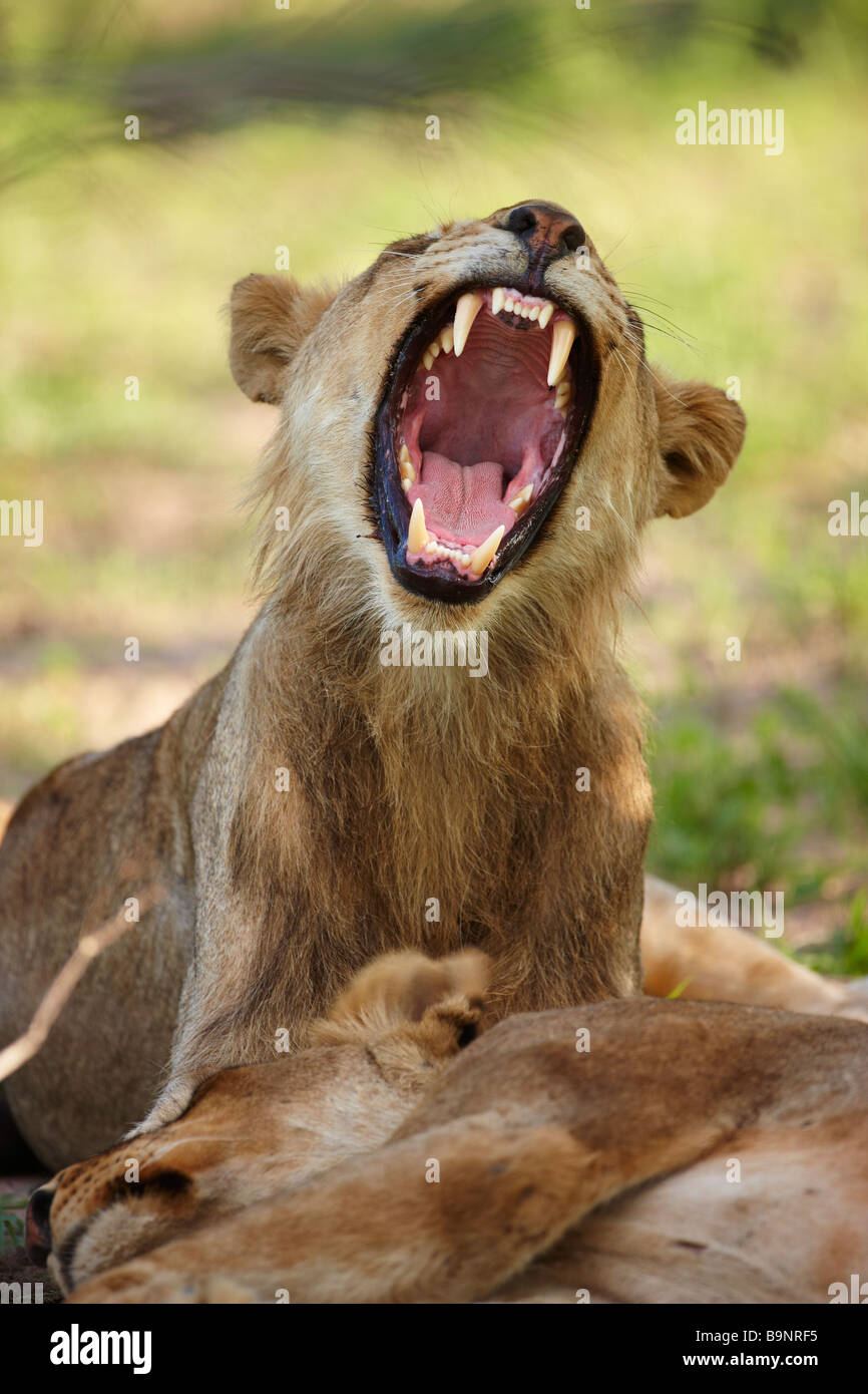 yawning lioness in the bush with sleeping cat, Kruger National Park, South Africa - Stock Image