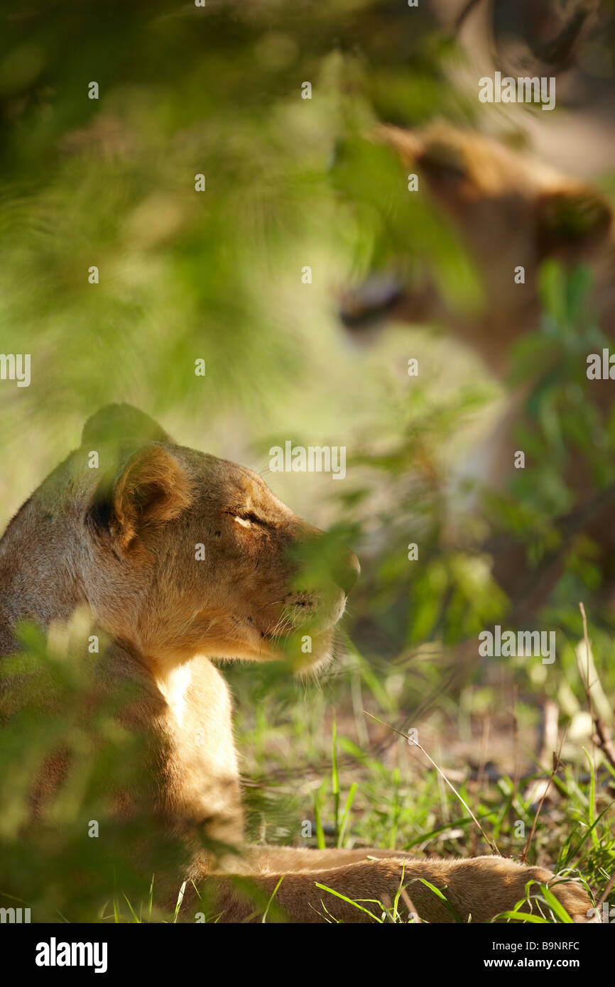 yawning lioness in the bush, Kruger National Park, South Africa - Stock Image