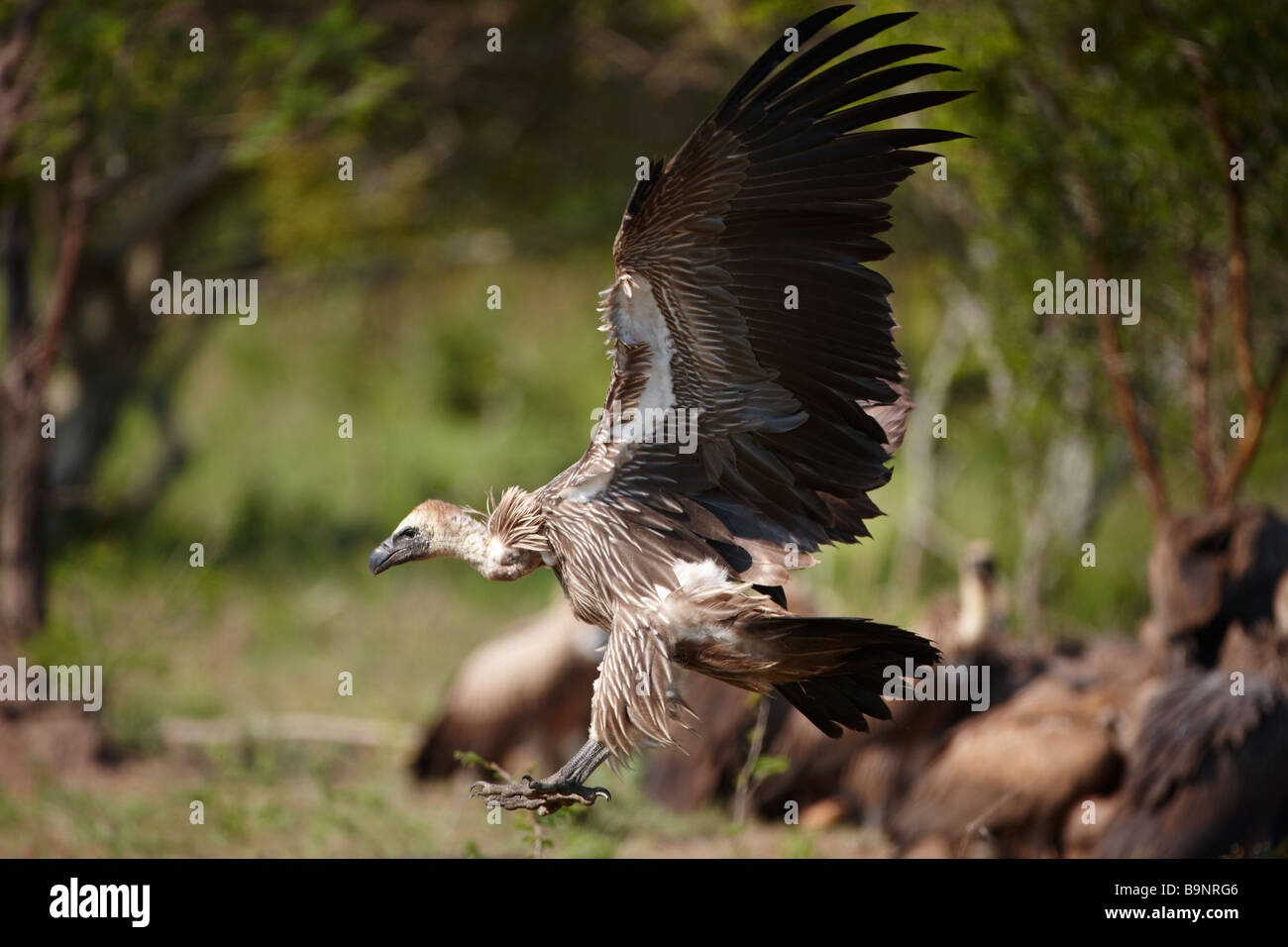 white-backed vulture landing to feed from a carcass, Kruger National Park, South Africa - Stock Image