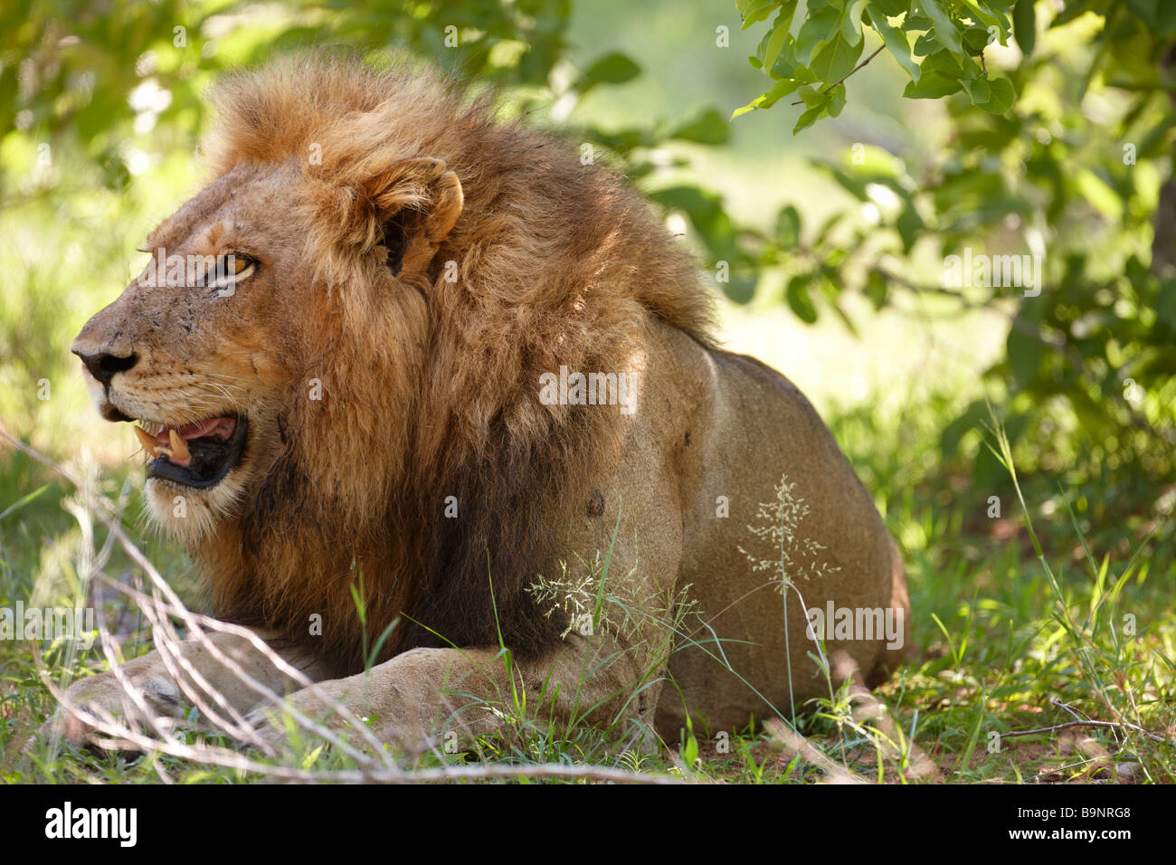 a male lion resting in the bush, Kruger National Park, South Africa - Stock Image