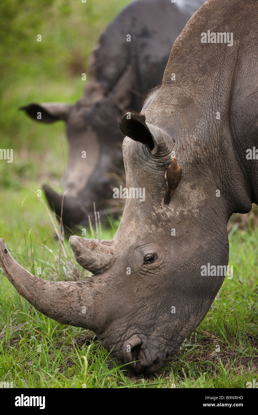 two white rhinoceros grazing in the bush with a red billed oxpecker perched on a hide, Kruger National Park, South - Stock Image