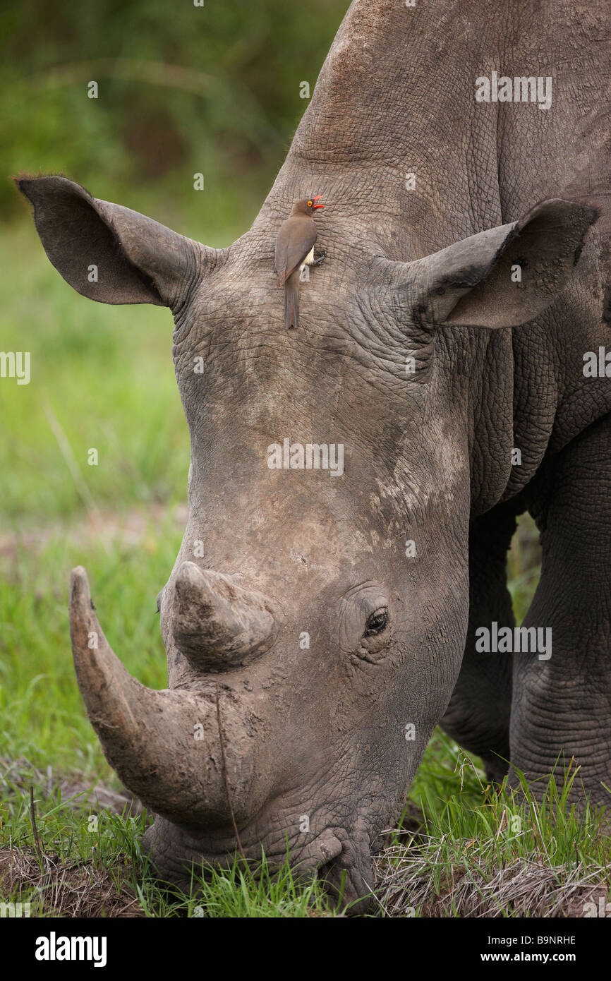 portrait of a white rhinoceros grazing in the bush with a red billed ox pecker Kruger National Park South Africa - Stock Image