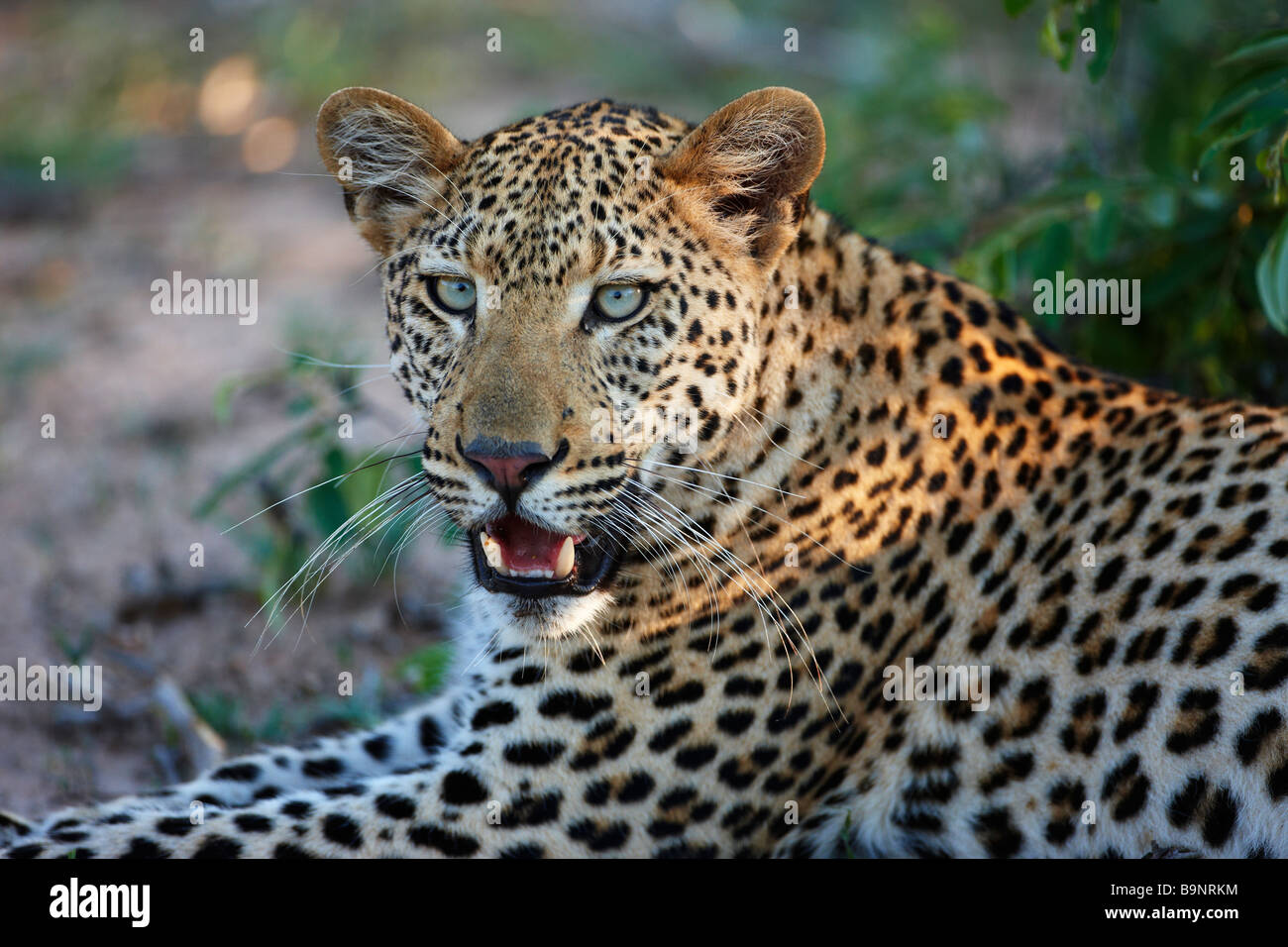 leopard resting in the bush, Kruger National Park, South Africa - Stock Image