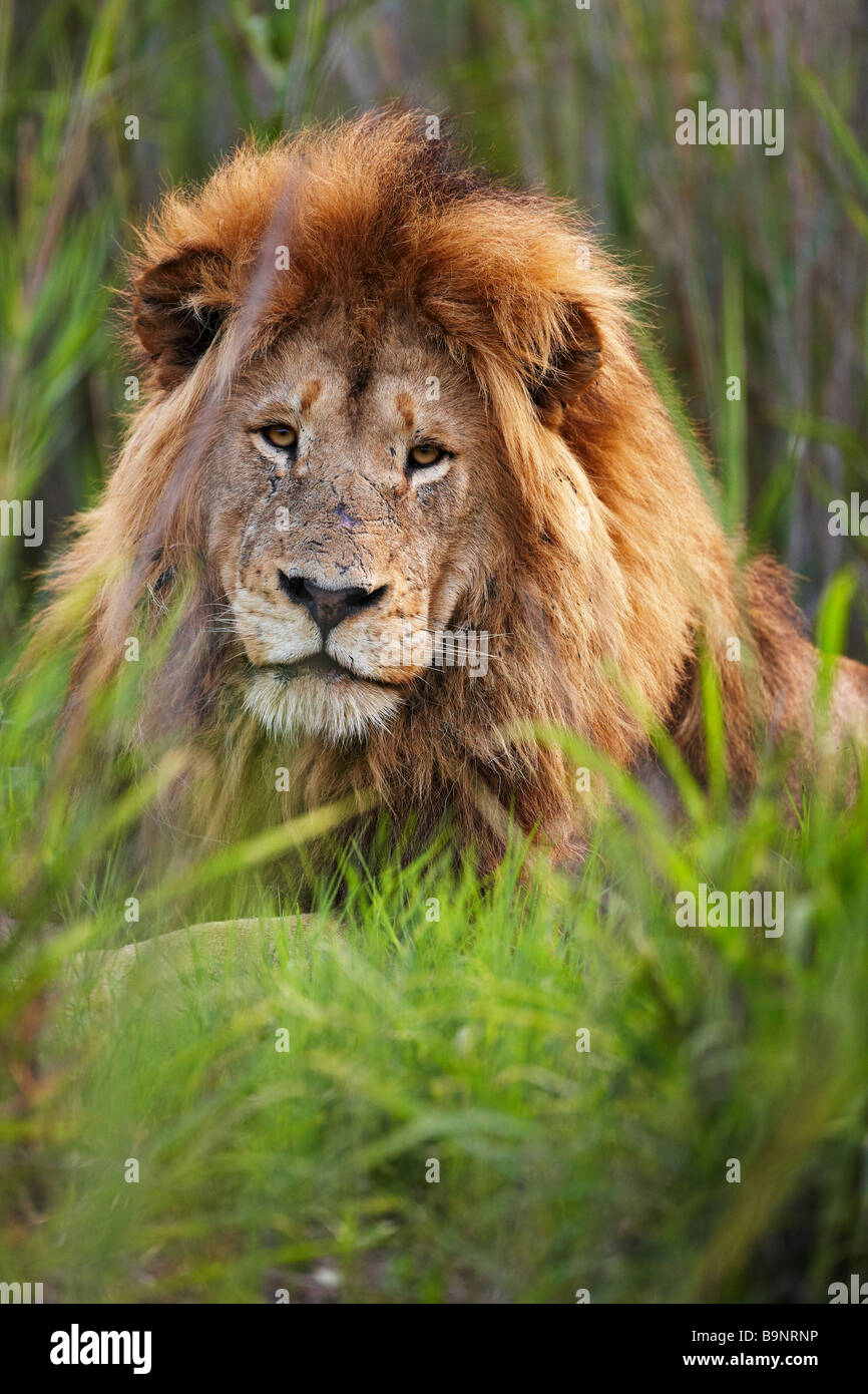 portrait of a male lion in the bush, Kruger National Park, South Africa - Stock Image