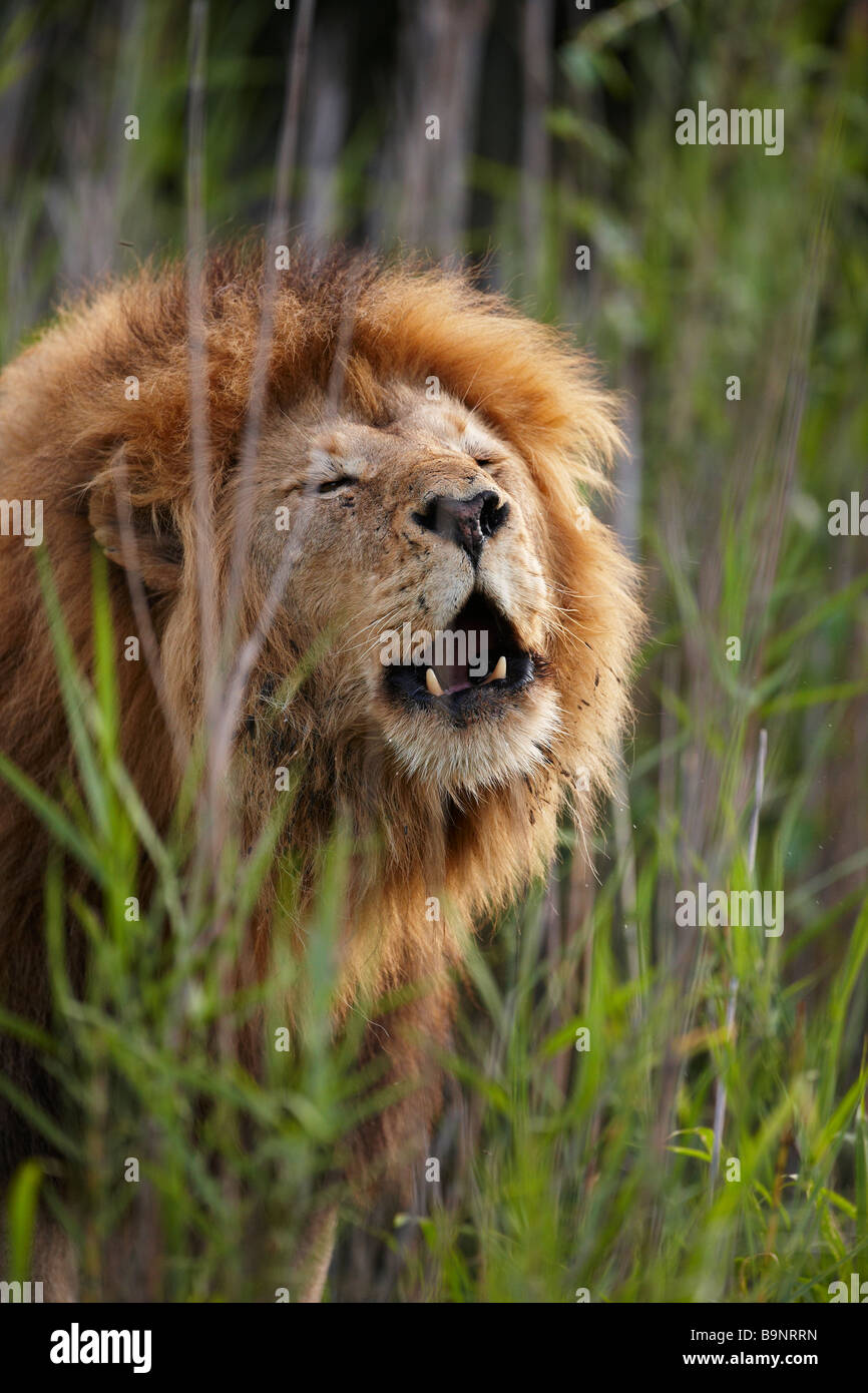 portrait of a male lion roaring in the bush, Kruger National Park, South Africa - Stock Image