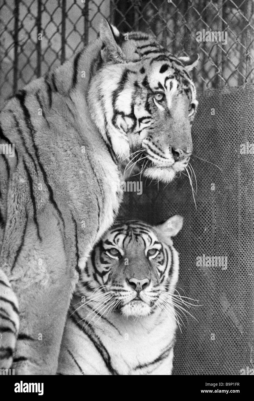 Raj and Rani tigers given as gifts to Jawaharlal Nehru in 1955 at the Tashkent Zoo - Stock Image