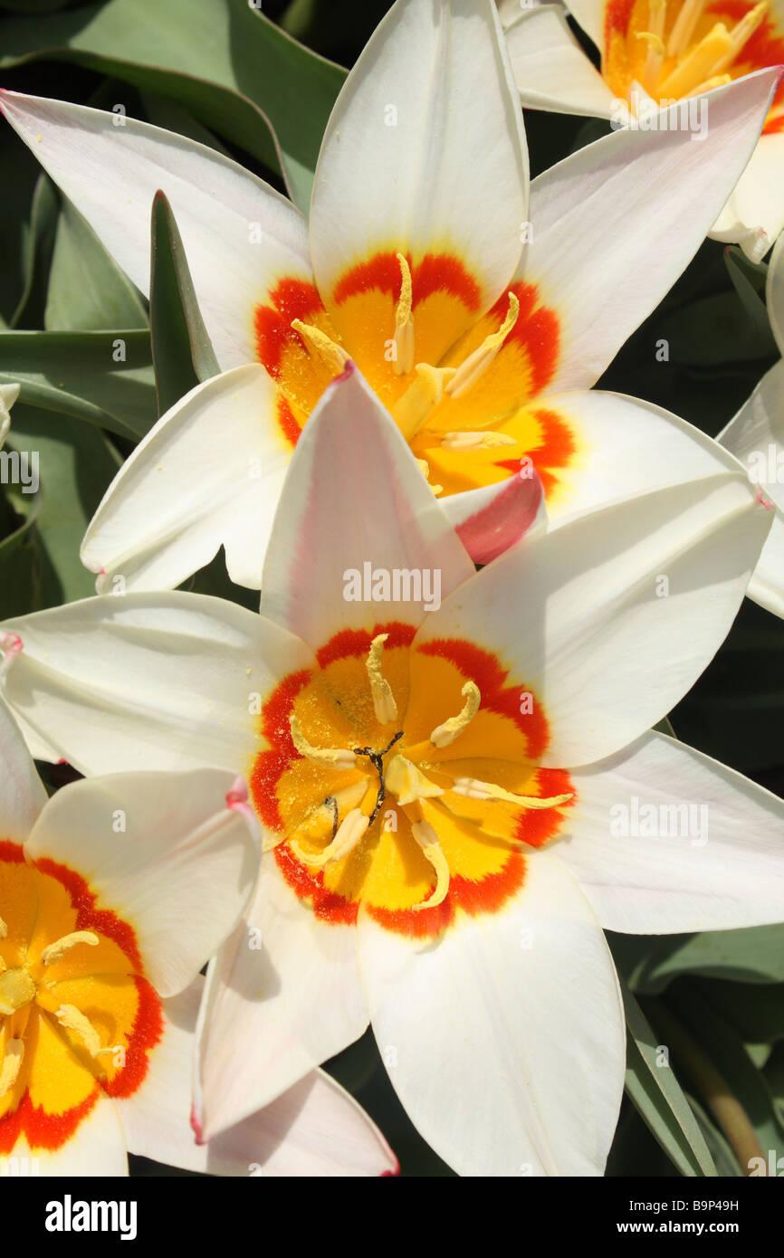 Two tone Daffodils Stock Photo