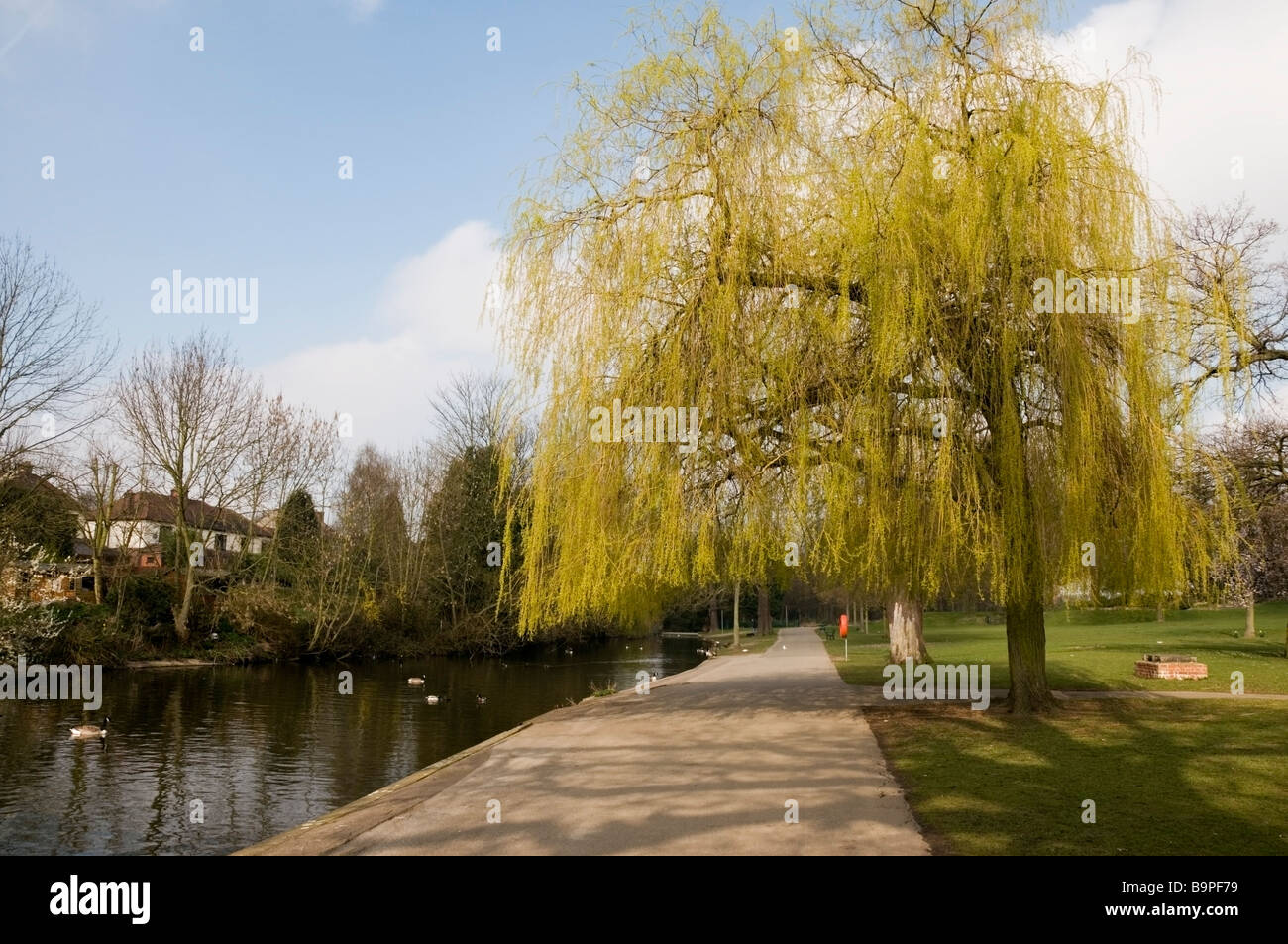 Early spring view of Willow tree, pond, ducks, residential property at Raphael Park, Gidea Park, Romford, Essex, - Stock Image