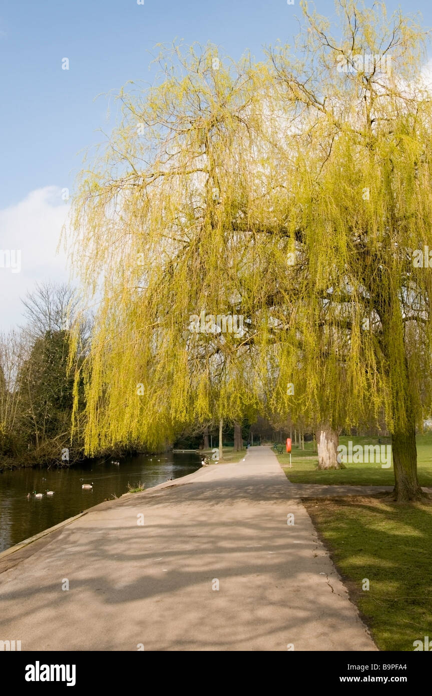 Early spring view of green Willow tree, pond, ducks, country path at Raphael Park, Gidea Park, Romford, Essex, UK, - Stock Image