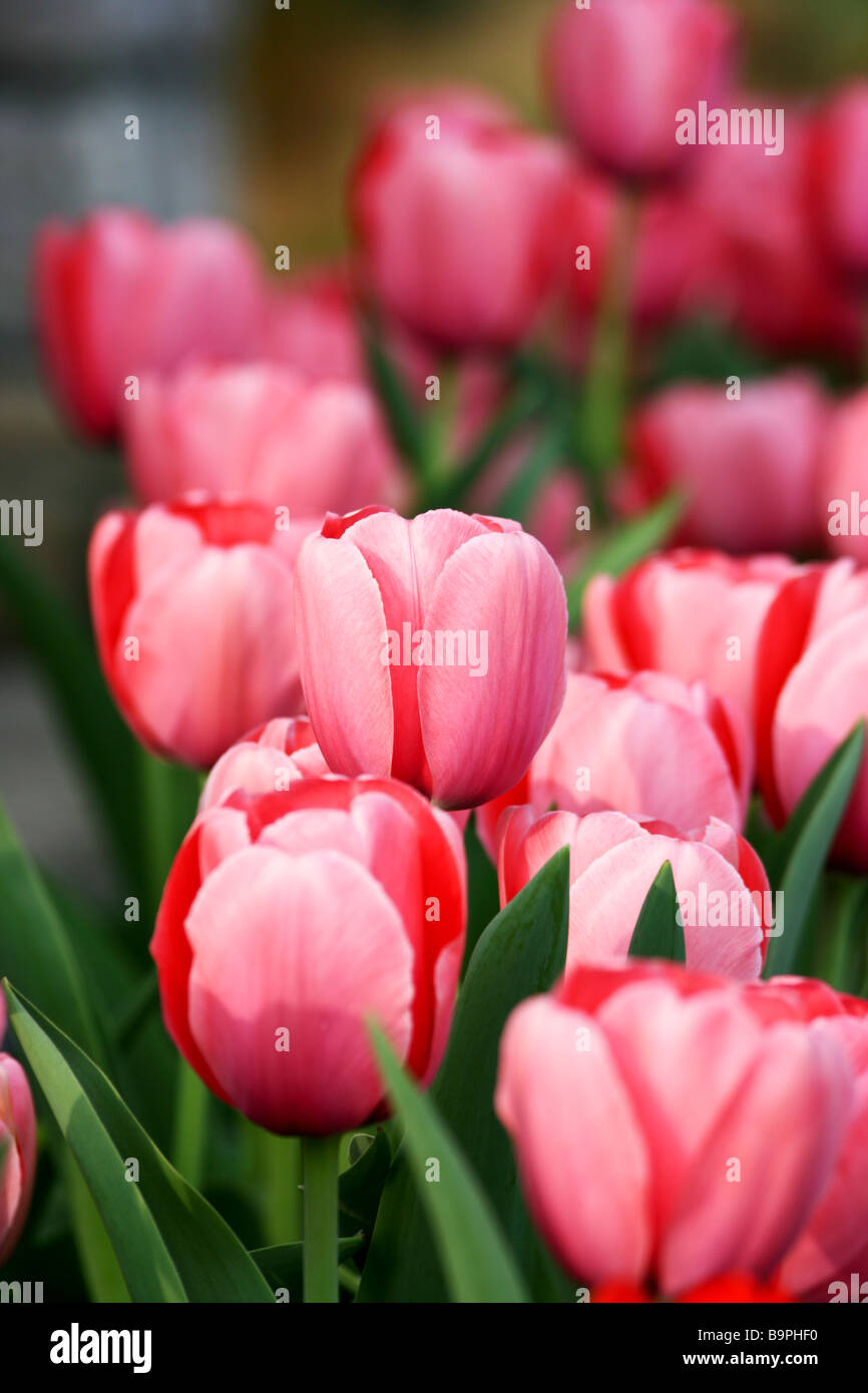 Pink Tulip Field near Nashville, Tennessee - Stock Image