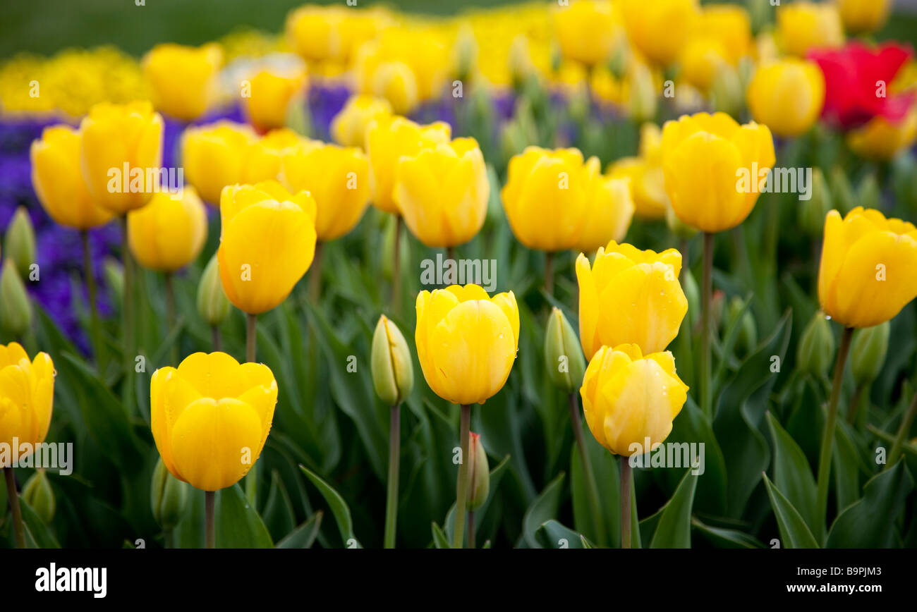 Yellow Tulip Field - Stock Image