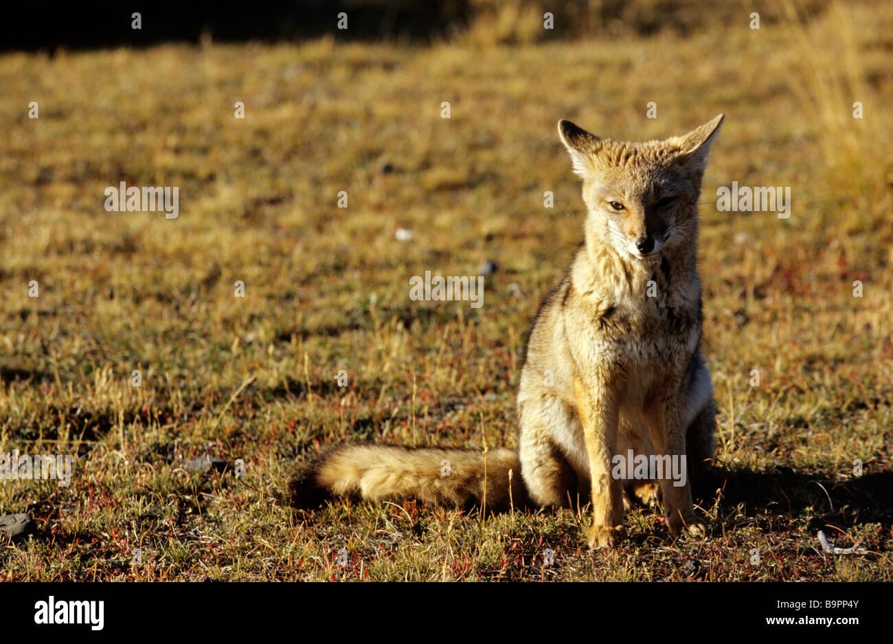 Chile, Patagonia, Magellan Region, Torres del Paine National Park, fox - Stock Image