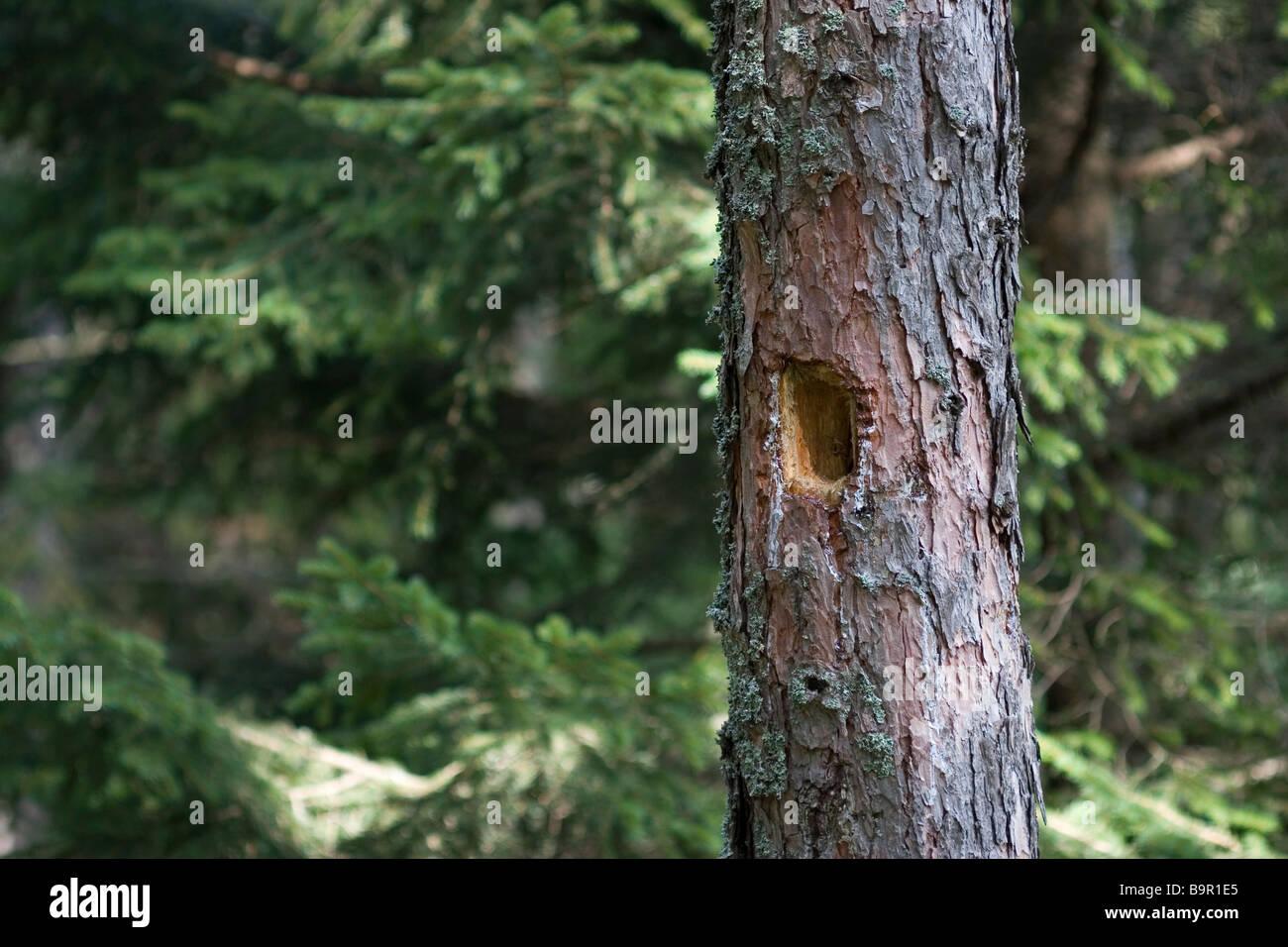 Black Woodpecker Dryocopus martinus hole - Stock Image