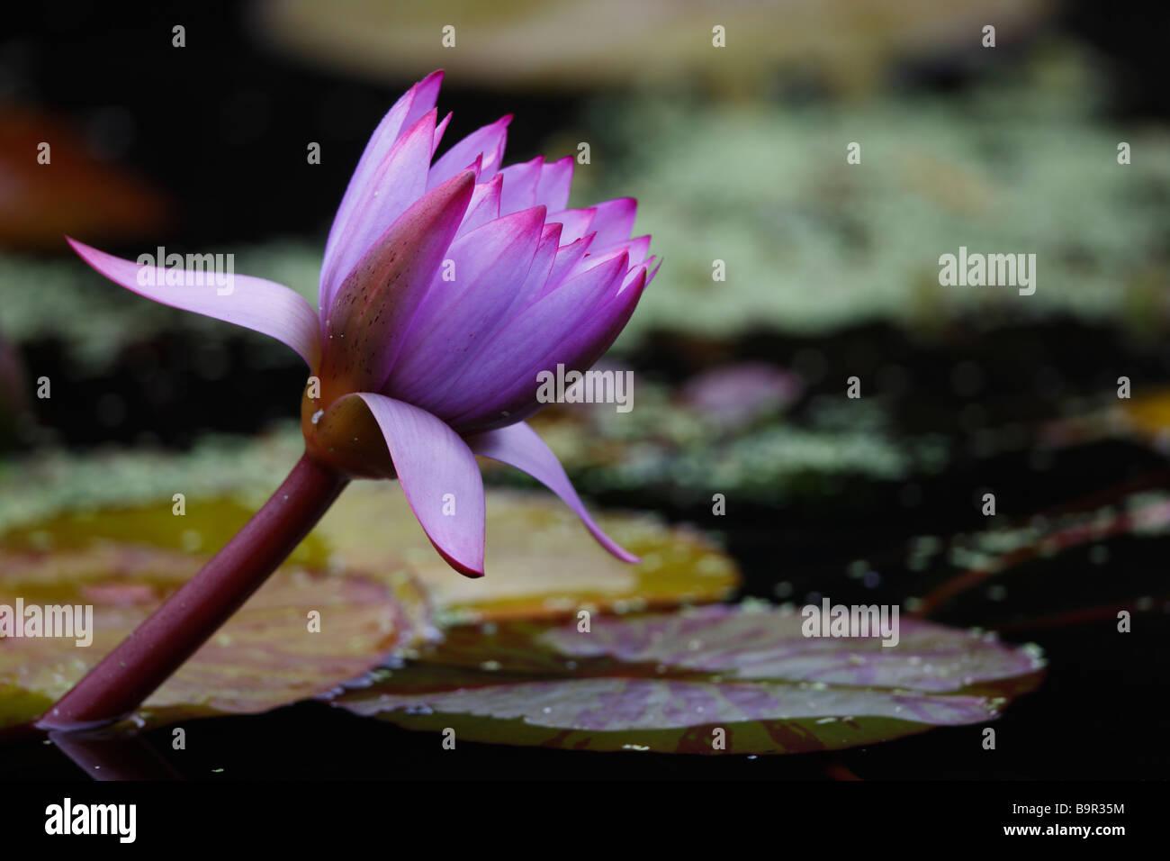 Lotus Flower Nelumbo Nucifera In Central Park New York City Stock