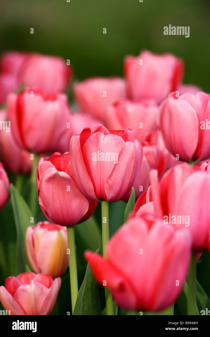 Pink Tulip Field - Stock Image