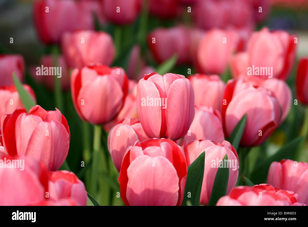 Pink Tulip Field - Stock Image