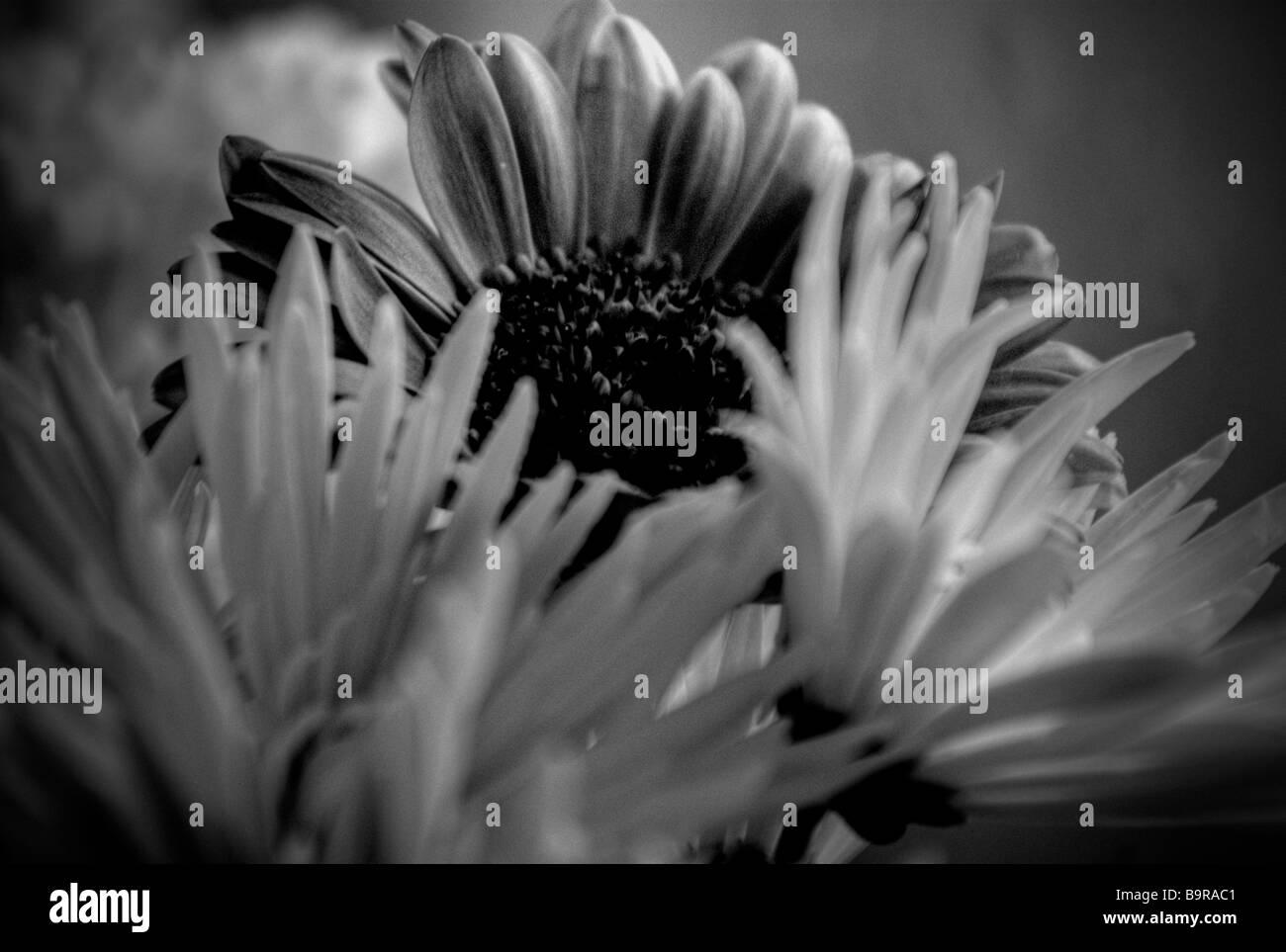 Black White Flowers Stock Photo 23255345 Alamy