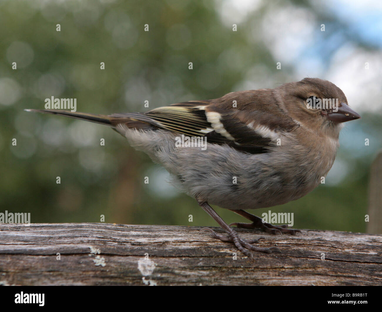 A small sparrow. - Stock Image