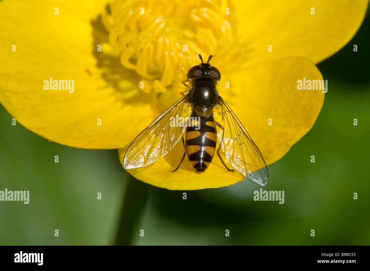 Hover fly 'Melangyna viridiceps'  close-up on buttercup - Stock Image