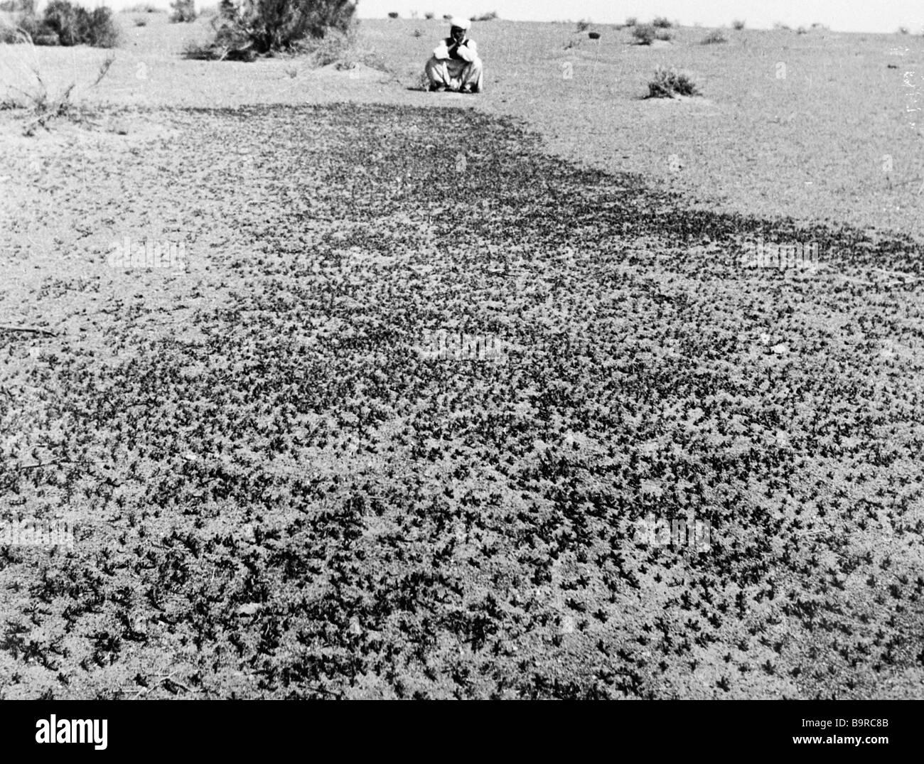 Peasant watches locust swarm - Stock Image