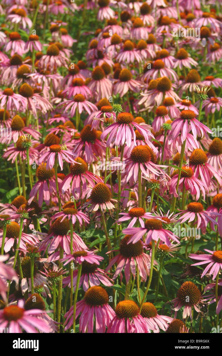 Medicinal plant Roter Sonnenhut Rudbeckia purple conflower Echinacea purpurea - Stock Image
