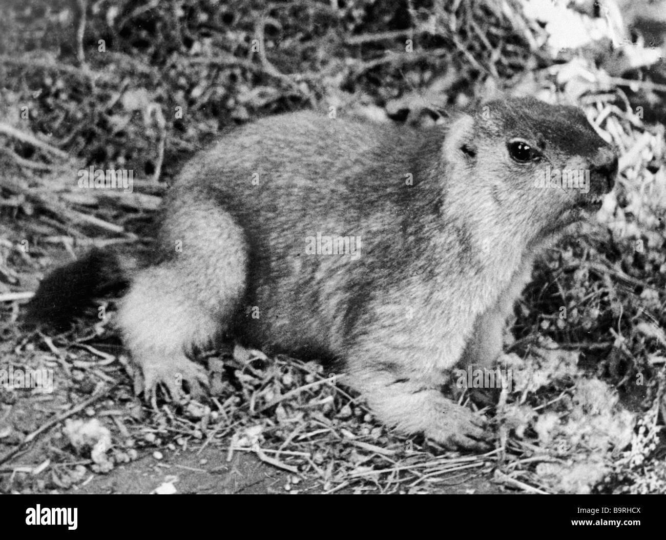 Tarbagan marmot rodent genus squirrel family - Stock Image