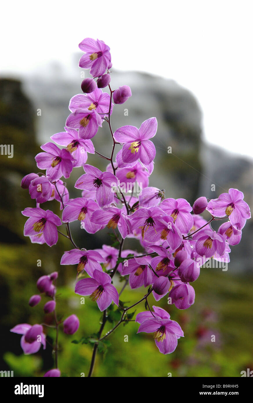 A profusion of wild Meadow Rue thrives during the monsoon, Rolwaling Valley, Nepal Stock Photo